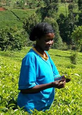 Une travailleuse dans les champs de thé kenyans. | Photo de Justea