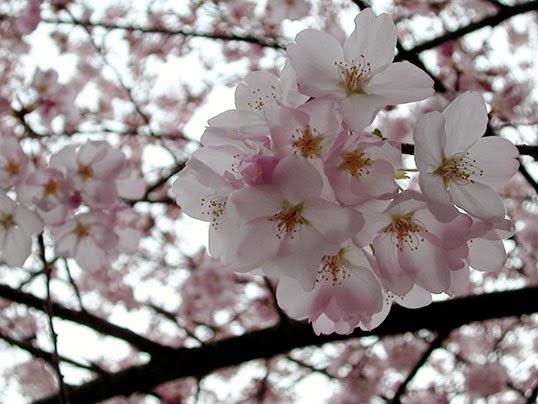 Un cerisier en fleur. | Photo par Ryan Cousineau